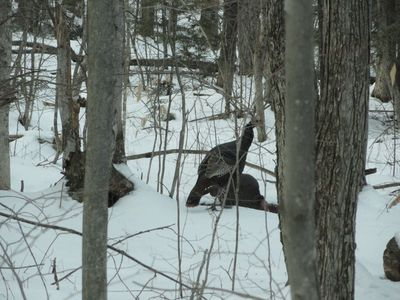 WILD TURKEYS ACROSS THE STREET FROM CAM WESTWOOD TAKEN MARCH 2012