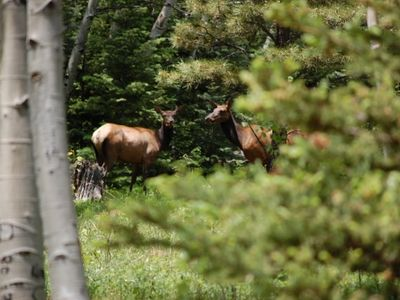 Cow Elk in Backyard of Mountain Home