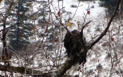 Resident bald eagle that hunts from the big branch directly across the river