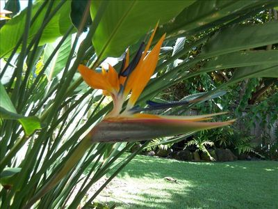 Bird of Paradise is one of the many tropical plants you'll find in the yard.