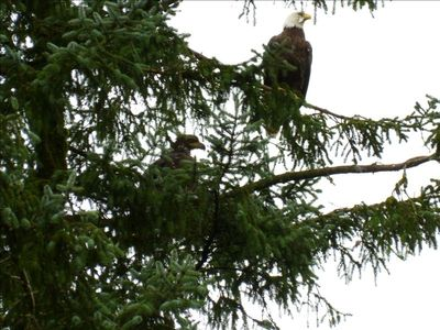 Eagles guarding the nearby nest