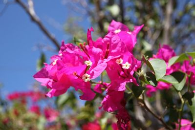 Bougainvillea blooming in the entryway