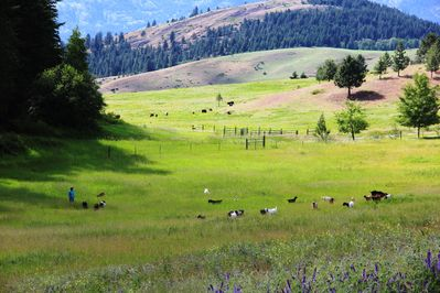 Goats and Cows on Pasture