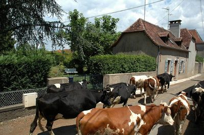 Herds of cows pass by the gite to the pasture