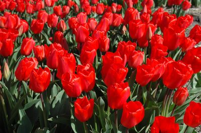 Tulip fields in many colours to be discoverde from April - May