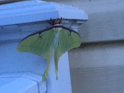 Luna moth hanging out on porch.