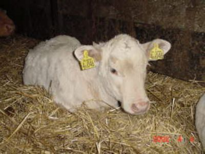 calves are born in Spring and Autumn