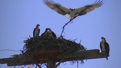 Wildlife abounds. Osprey nest on the road into the cabin.
