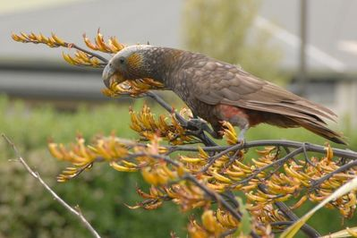 Kaka outside Kereru House