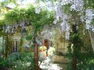 Beautiful Wisteria on the Pergola Terrace
