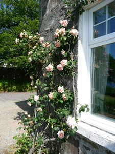 Hundred year old rose