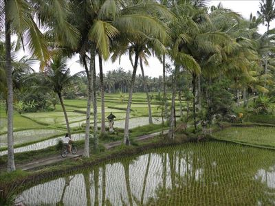 Our neighborhood country lane with newly planted rice