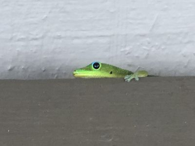 One of the many geckos that are native to Hawaii