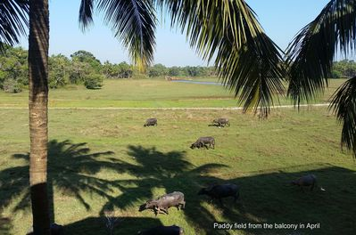 Paddy field from the balcony in April