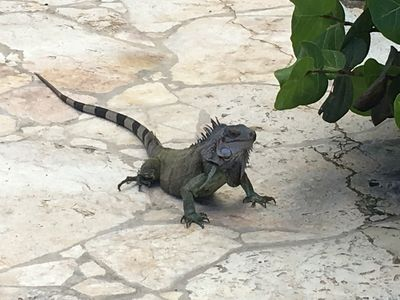 One Of The Local Iguanas