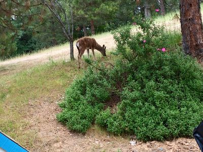 Deer grazing in the yard