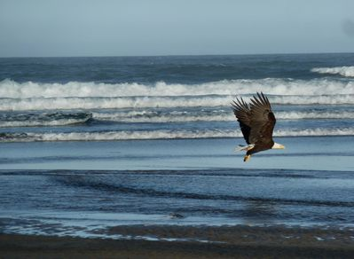 one of our resident pair of eagles flying in front of the condo