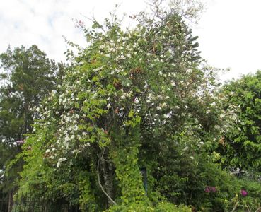 25 ft. Orchid tree at entrance (not a true orchid) blooms half year