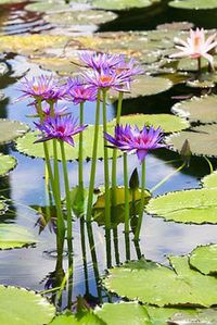 Water lily to welcome You ....