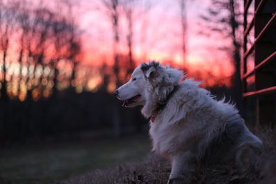 canine host Wendell at sunset in the orchard