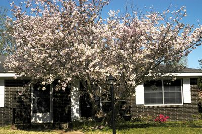 Front yard blooming Pear Tree