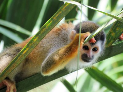 Titi Monkey hanging out in our Palm trees. My favorite pic I've taken...ever!!