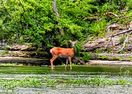 Beautiful doe in the river at State Park 20 mn away