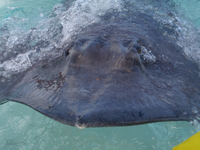 Local residents of stingray city