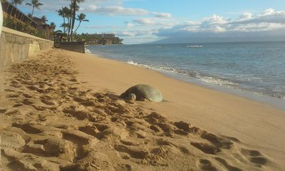 One of our resident turtles resting on our beach