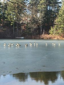 Geese on Clear Pond
