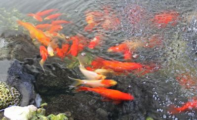 Have you ever stayed at a vacation rental that has goldfish? - Have you ever stayed at a vacation rental that has goldfish?