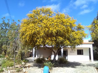 Mimosa in April