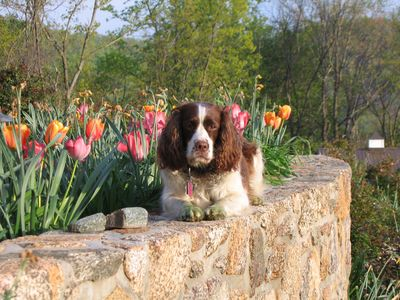 Molly and our spring tulips.  See the green paws!  Molly never slows down!