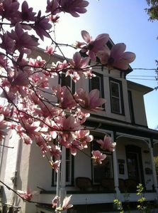 Magnolia tree and house face.