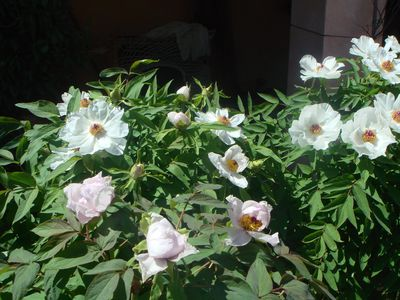 peony tree flowers(White Phoenix) april