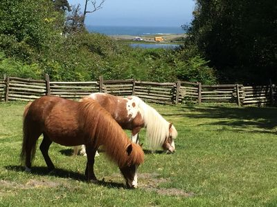 Mini horses at Quail Ranch