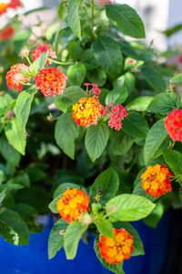 Lantana blooms up to 9 months a year in Albuquerque.