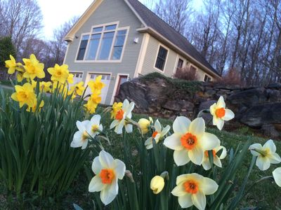 The daffodils are just starting to bloom (4/24/2019).