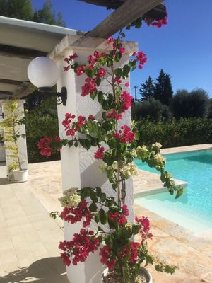 Bougainvillea next to the pool