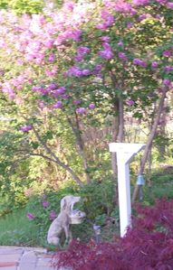 June Lilacs near the front walkway