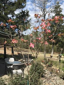 The Cherokee Chief dogwood in bloom by the La Cabana patio in April.