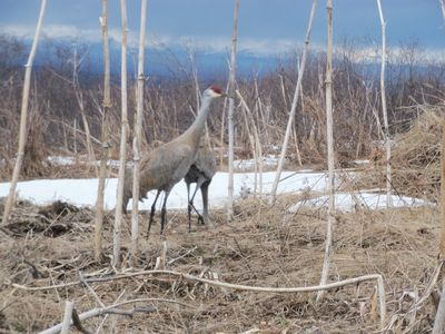 Sandhill cranes are often here and viewable during May and June.