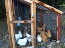 13 happy chickens to provide your daily farm fresh eggs!