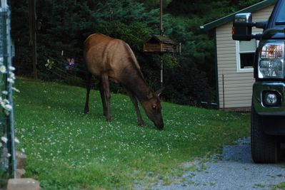Elk are regularly found in front of the house grazing or looking for apples
