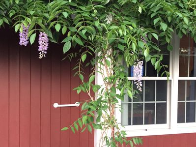 Lucky is the guest when the fragrant wisteria is in bloom.