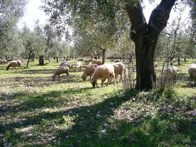 Our sheep pasturing in the olive yards