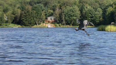 Great Blue Heron on the lake.