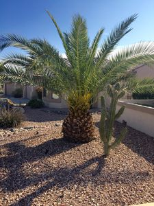 Pineapple Palm in Front Yard