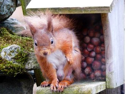 Cyril the squirrel in the feeder by the cottages