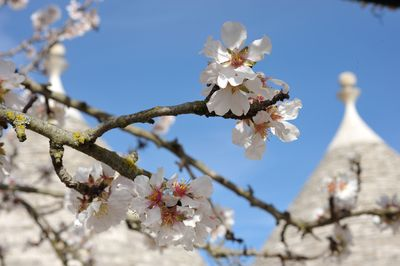 Almond flowers and Pinnacles